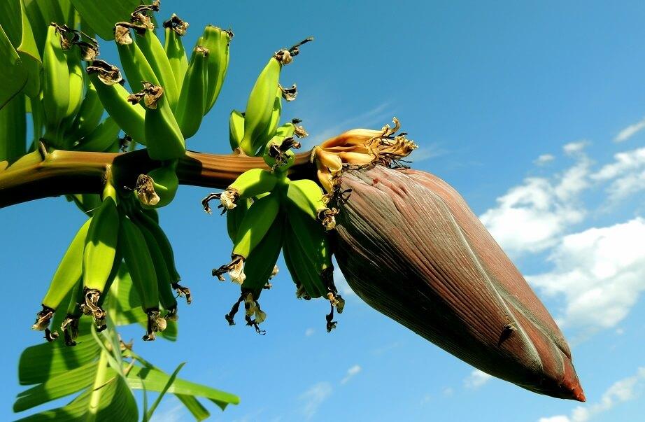 咲き狂うバナナの花